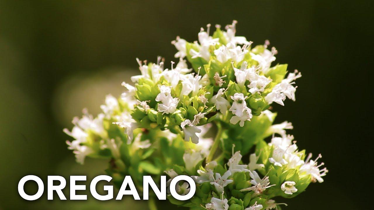 Cultivo de orégano en el huerto ecológico | Permacultura en Galicia