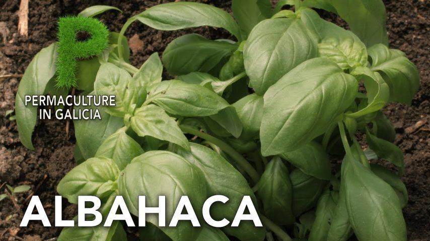 Albahaca | Permacultura en Galicia