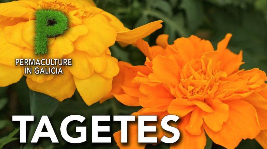 Tagetes | Beneficios para el huerto y cultivo | Permacultura en Galicia