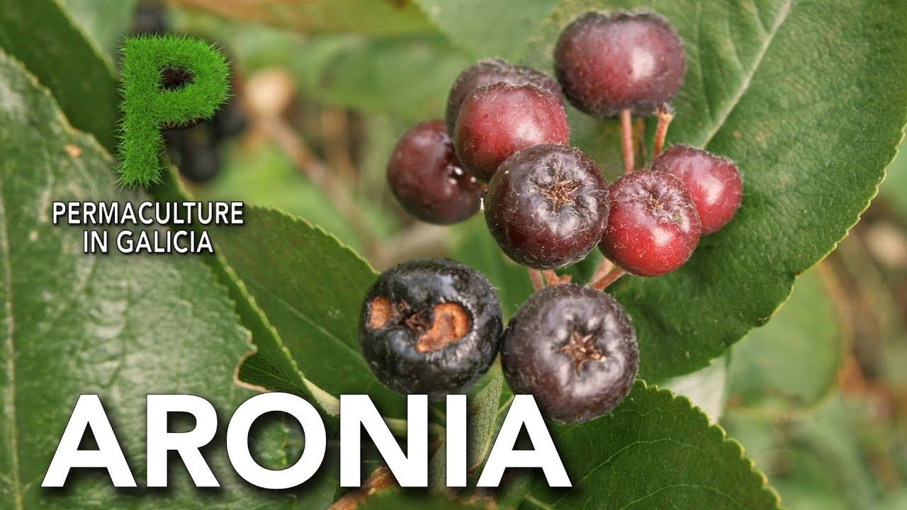 Aronia. Cultivo y beneficios para la salud | Permacultura en Galicia