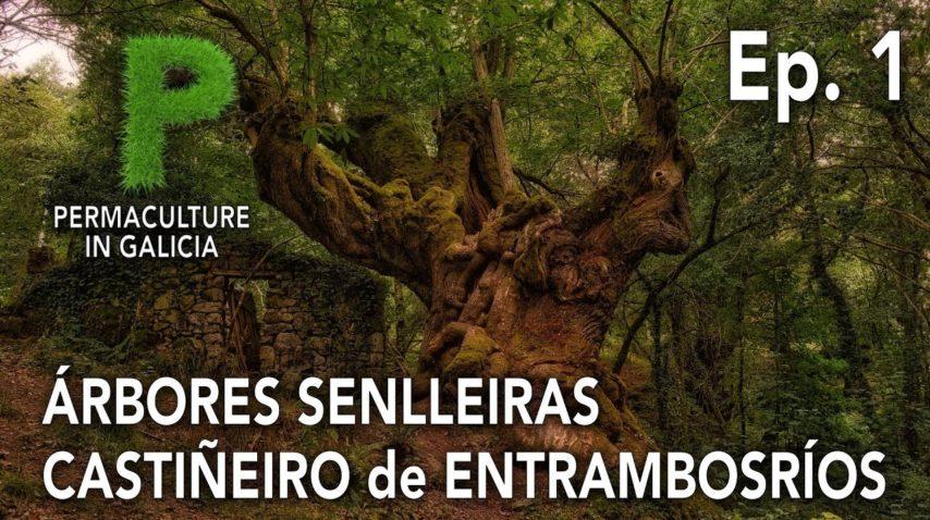Árbores Senlleiras Ep. 01 Castiñeiro Milenario de Entrambosríos | 4K Galego