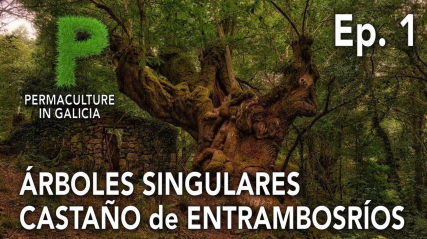 Árboles Singulares Ep. 01 Castaño Milenario de Entrambosríos | 4K Español