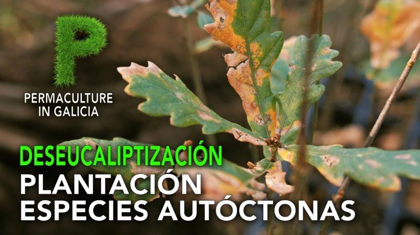 Deseucaliptización. Plantación de especies autóctonas | 4K Galego | Permacultura en Galicia