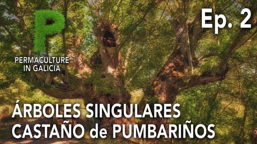 Árboles Singulares Ep  02 Castaño Milenario de Pumbariños | 4K Español | Permacultura en Galicia
