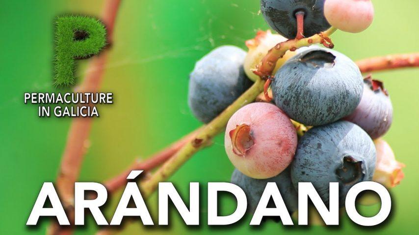 Arándanos. Cultivo, variedades, propiedades | Permacultura en Galicia