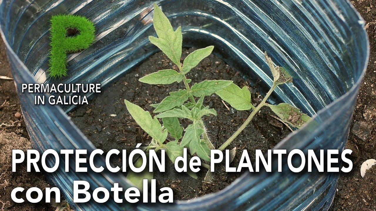 Protección de plantones con botellas | Permacultura en Galicia