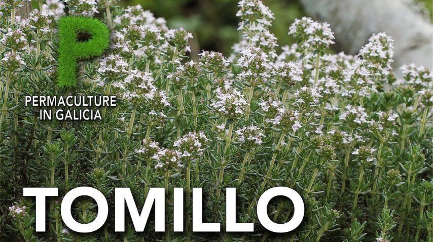 Tomillo. Cultivo y beneficios para el huerto | Permacultura en Galicia