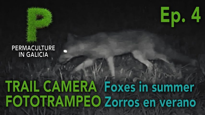 Trail Camera Ep. 04 Zorros en verano | Permacultura en Galicia