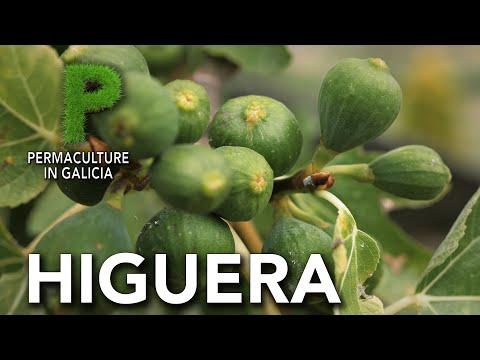 Higuera e Higos: Cómo plantar una higuera, cuidados y beneficios del higo | Permacultura en Galicia