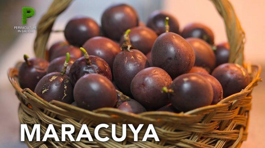 Cultivo de Maracuya en el huerto ecológico | Permacultura en Galicia