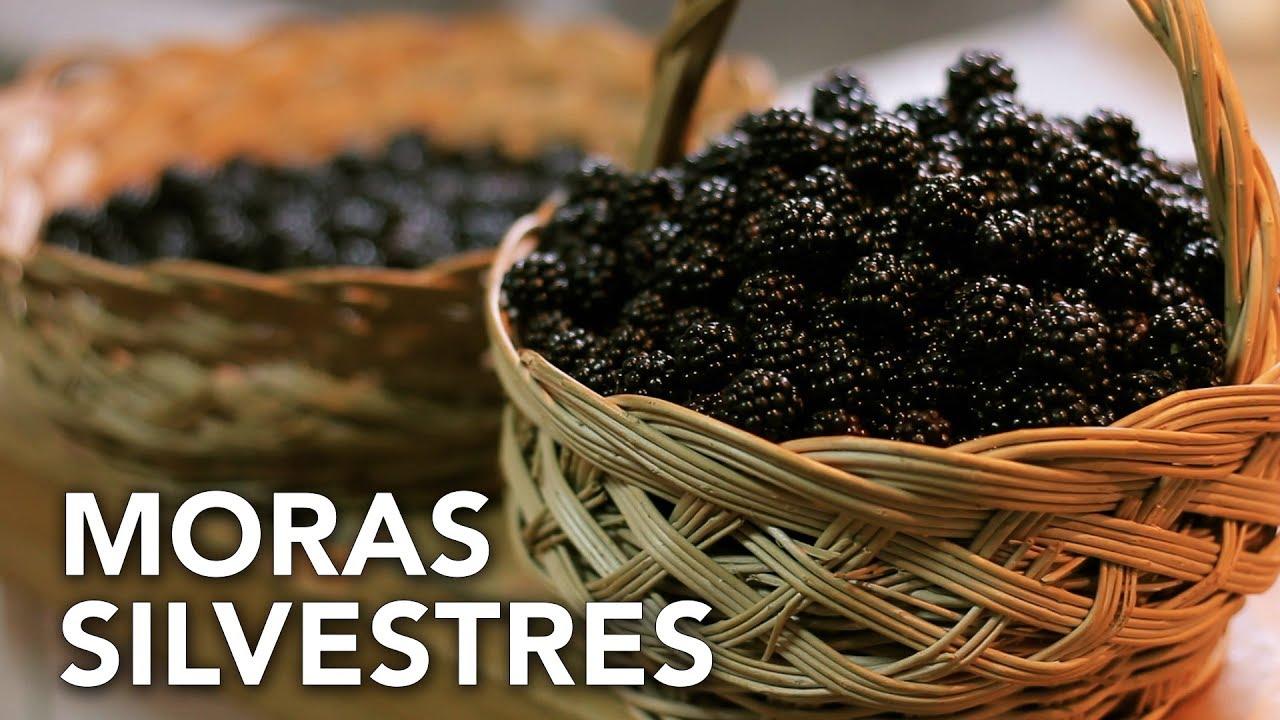 Recogiendo moras silvestres | Permaculture in Galicia