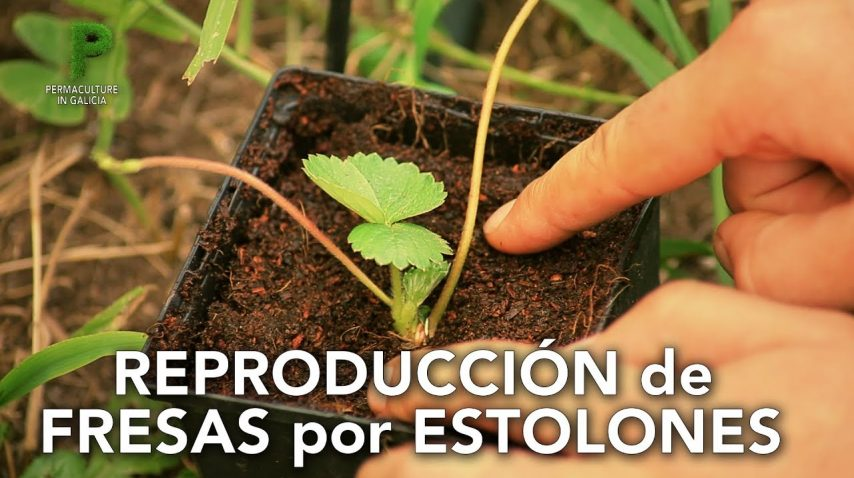 Reproducción de fresas por estolones | Permacultura en Galicia