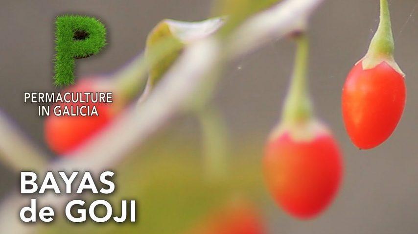 Bayas de Goji en el bosque de alimentos | Permacultura en Galicia