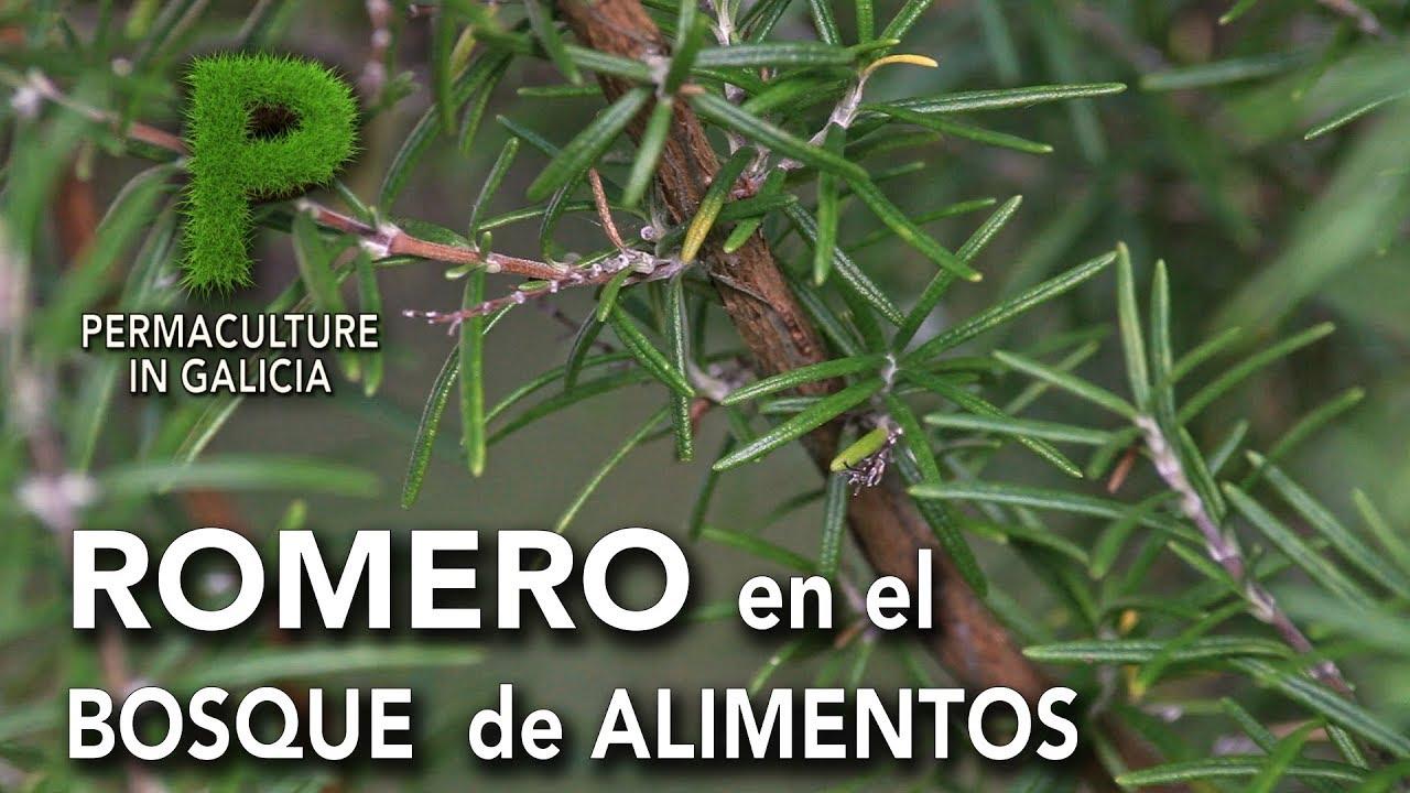 Romero en el bosque de alimentos | Permacultura en Galicia