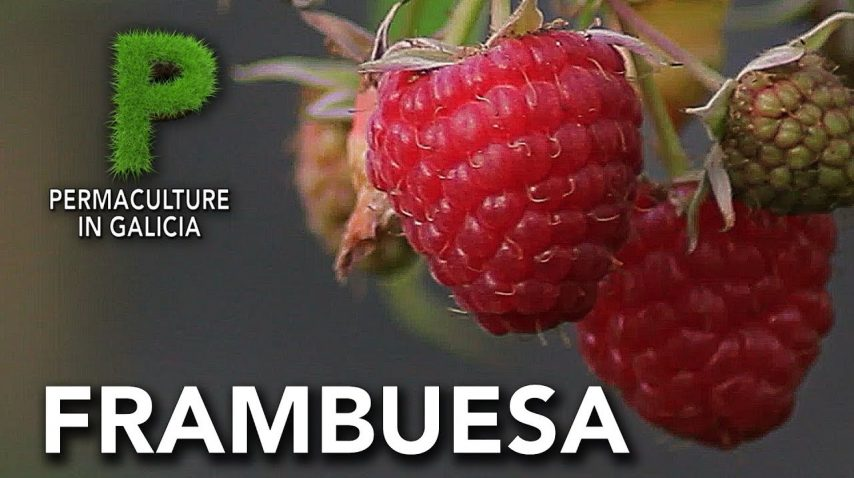 Frambuesa. Cultivo. Propiedades | Permacultura en Galicia