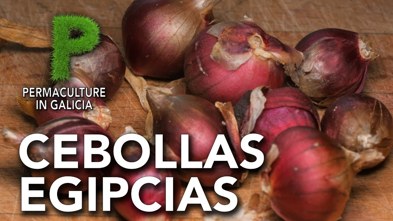 Cebollas egipcias | Permacultura en Galicia