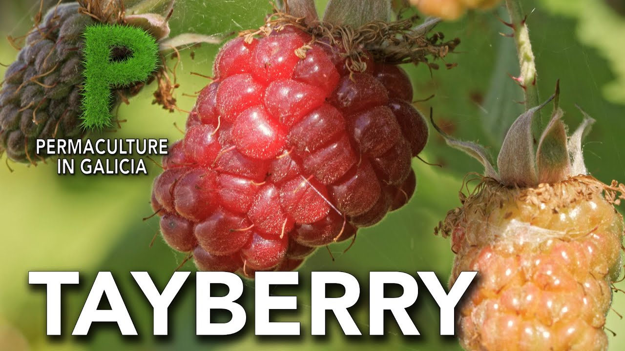 Tayberry. Cultivo | Permacultura en Galicia
