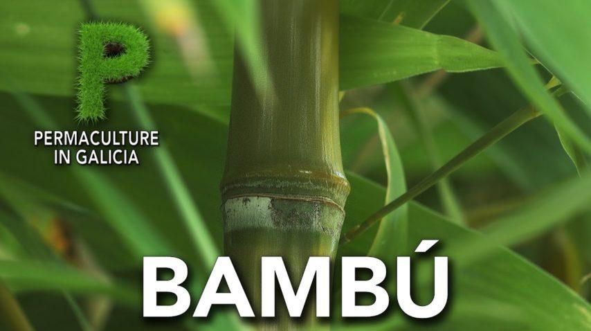 Bambú. Cultivo y usos | Permacultura en Galicia