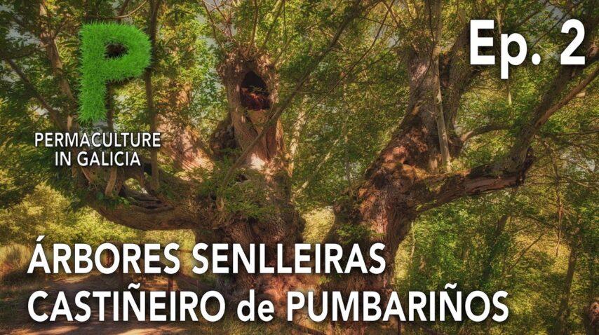 Árbores Senlleiras Ep. 02 Castiñeiro Milenario de Pumbariños | 4K Galego | Permacultura en Galiza