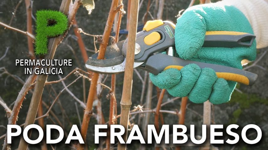 Poda frambuesas / Poda invernal del frambueso | Permacultura en Galicia