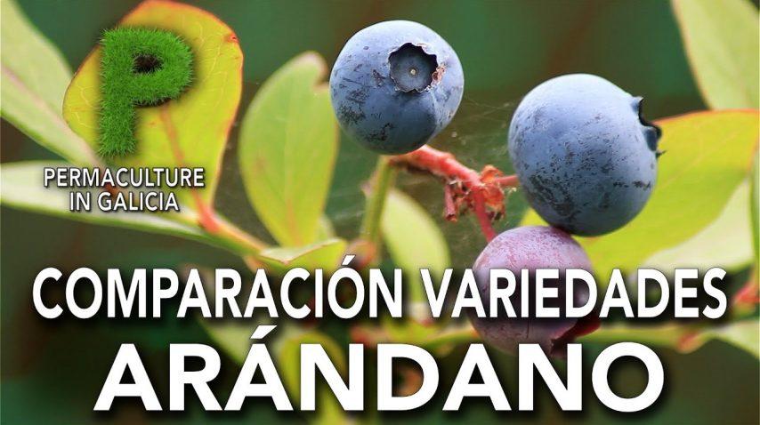 Comparación variedades de Arándano | Permacultura en Galicia