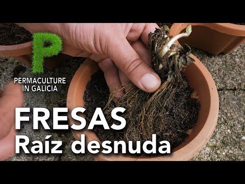 Como plantar fresas a raíz desnuda | Permacultura en Galicia