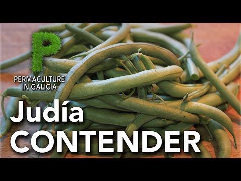 Judía mata baja variedad Contender | Permacultura en Galicia